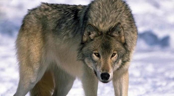 Волк напал на ребенка в челябинском парке. Видео
